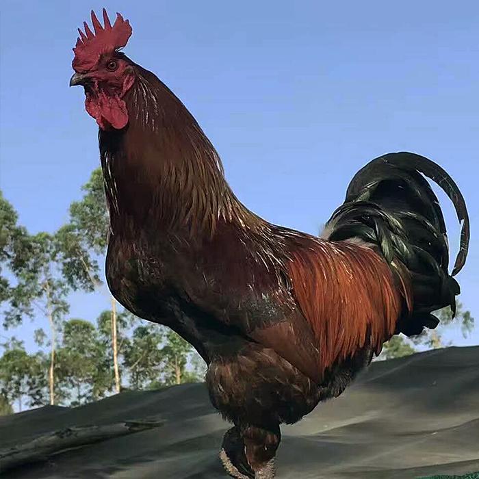 四川特产 珑美土鸡 山地林场放养土鸡